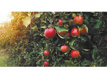 По прогнозам Центра отраслевой экспертизы РСХБ, производство яблок в России к 2024 г. вырастет в 2 раза и превысит 1,2 млн тонн